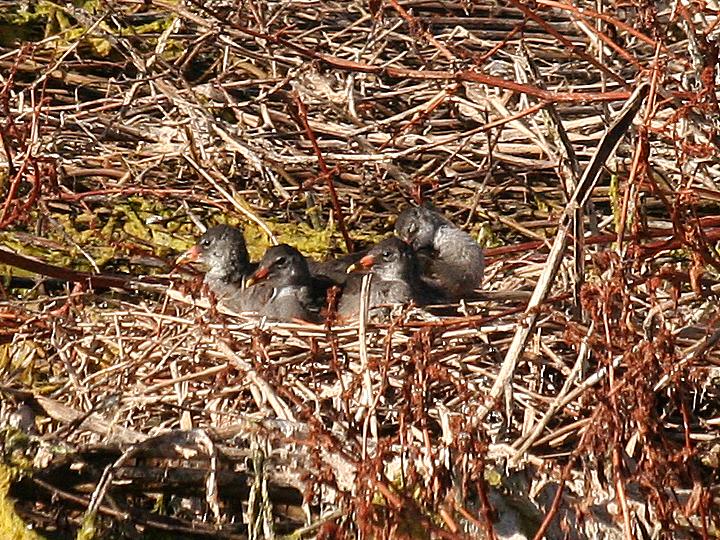 American Coot nest