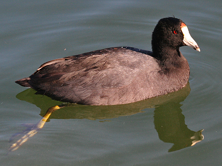 American Coot AMCO