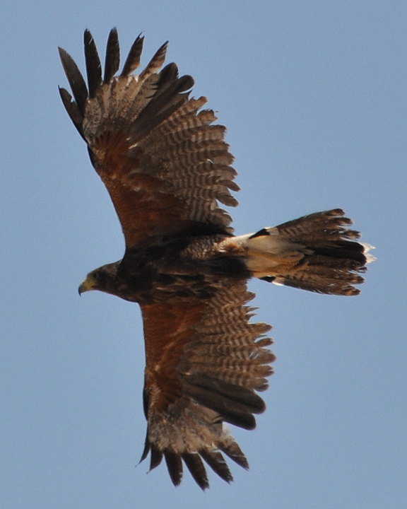 Harris's Hawk adult