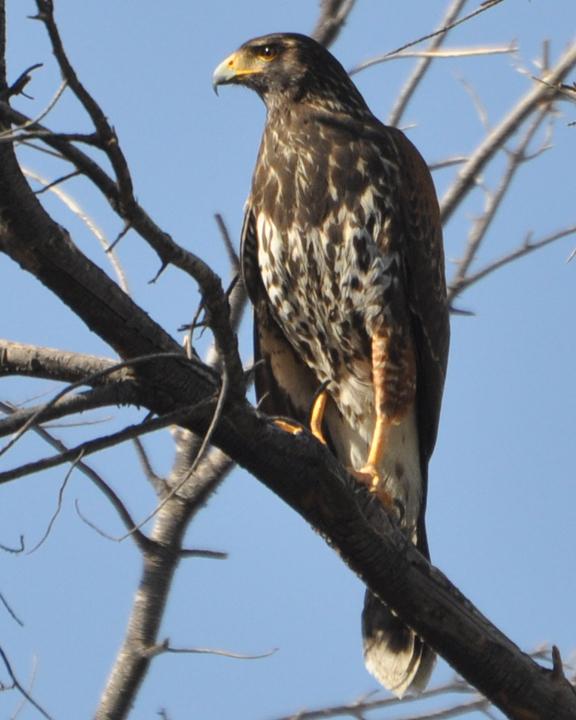 Harris's Hawk juvenile