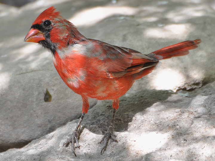 Leucistic Northern Cardinal