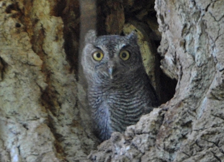 Western Screech-Owl owlet