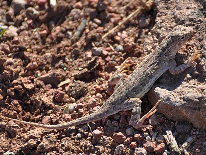 02 Elegant Earless Lizard Atascosa Santa Cruz Country