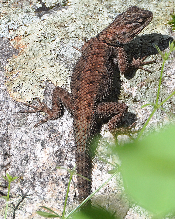 Yarrrow's Spiny Lizard