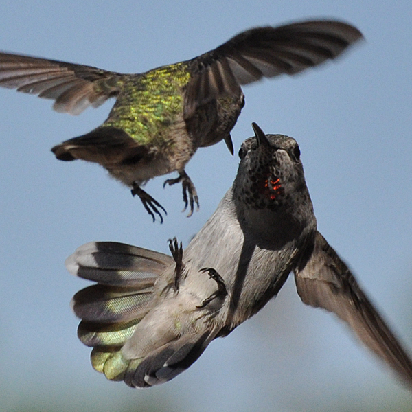 Anna's Hummingbird fight