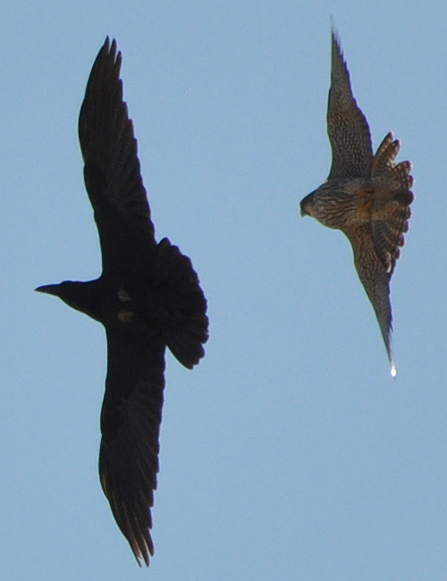 Common Raven vs Peregrine Falcon