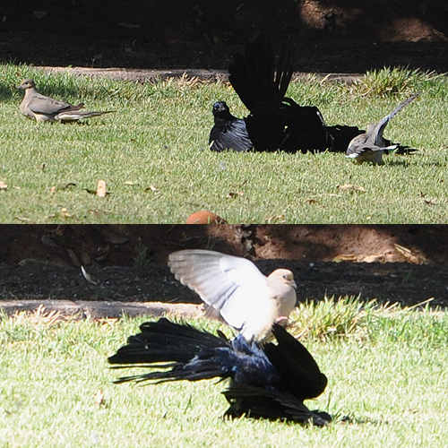 Great-tailed Grackles and Mourning Dove