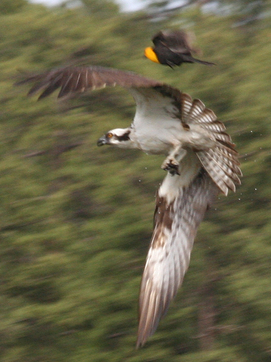 Yellow-headed Blackbird vs Osprey