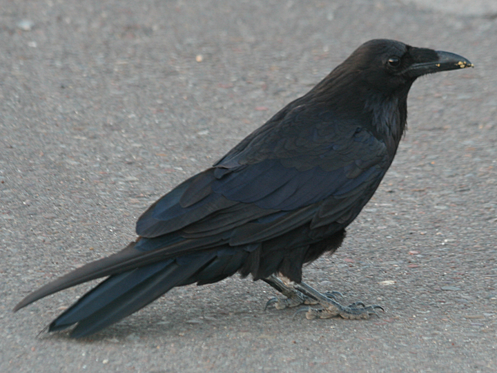 American Crow AMCR