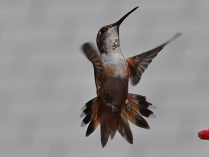 Allen's Hummingbird after hatch year female