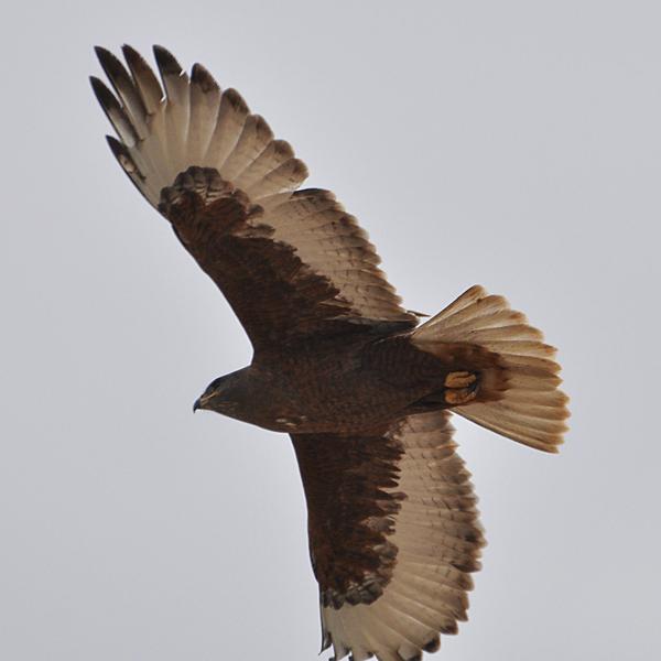 Ferruginous Hawk dark-morph