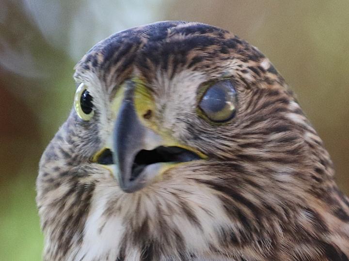 Cooper's Hawk nictitating membrane