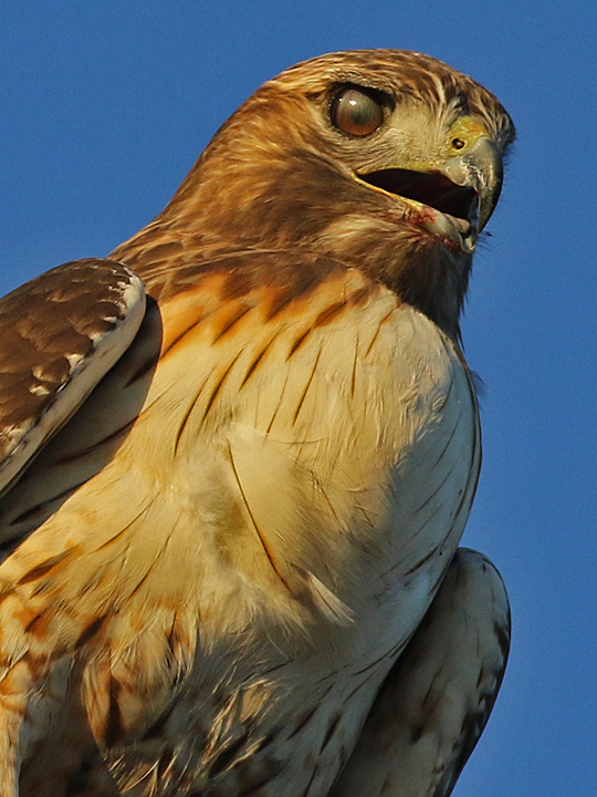 Red-tailed Hawk nictitating membrane