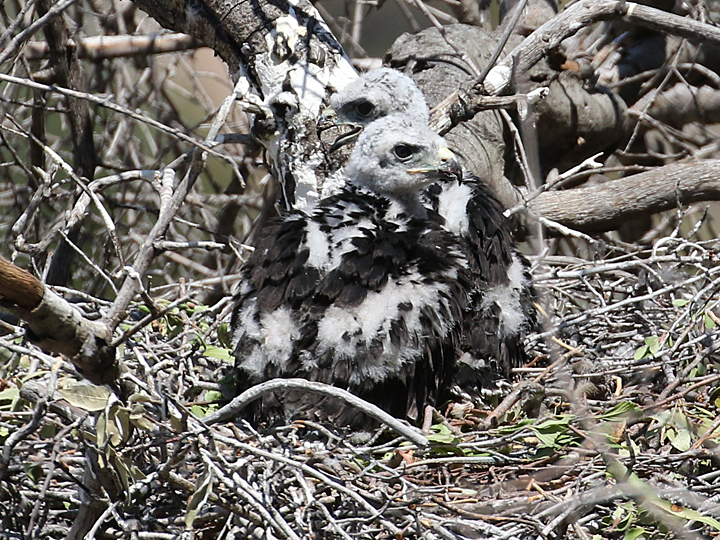 Zone-tailed Hawk chicks