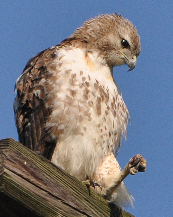 Red-tailed Hawk bumblefoot