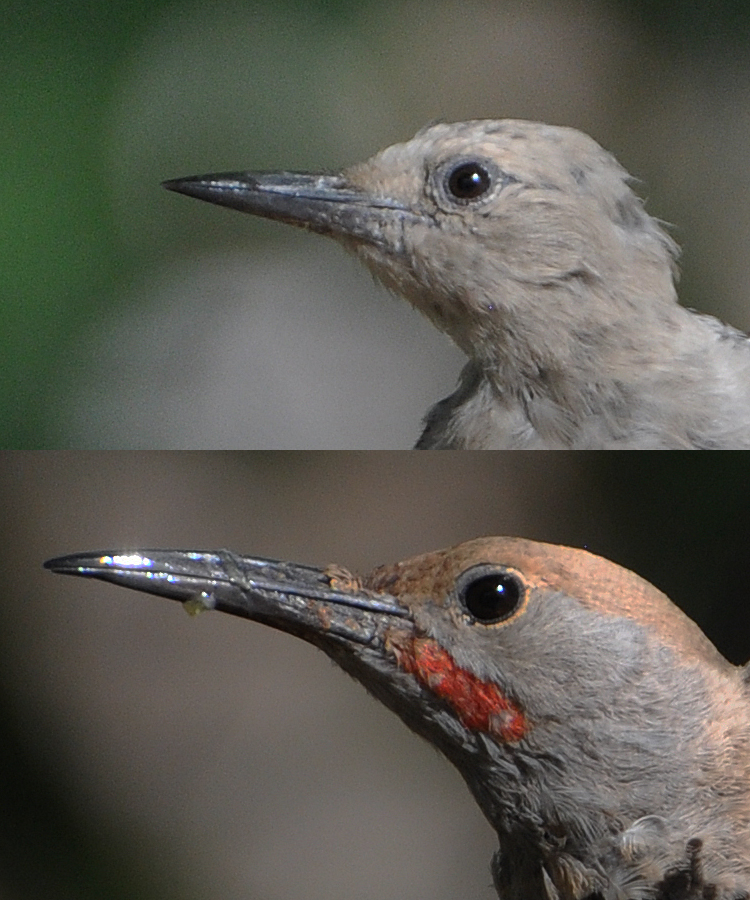 Gilded Flicker v Gila Woodpecker
