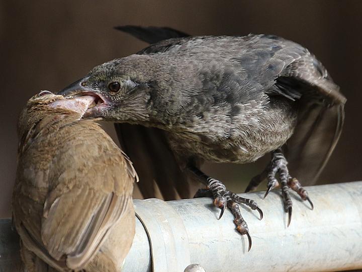Abert's Towhee feeding Bronzed Cowbird