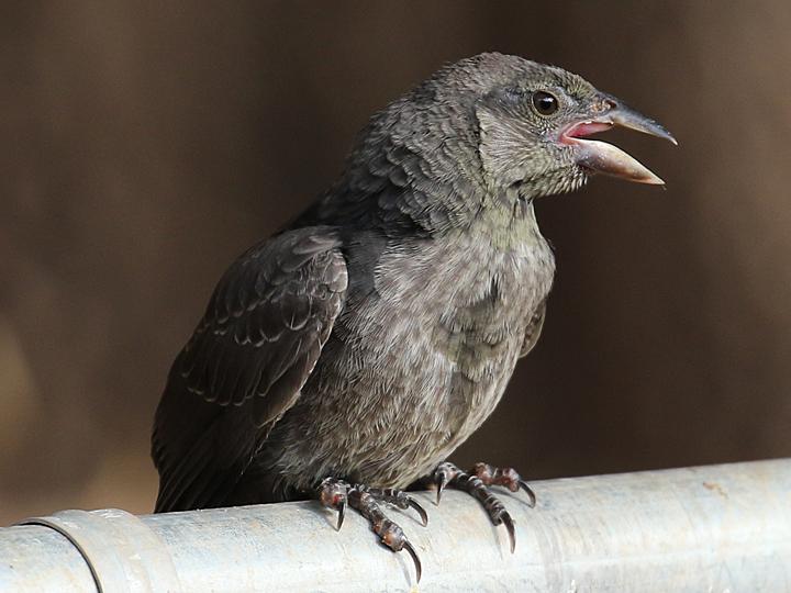 Bronzed Cowbird BROC juvenile