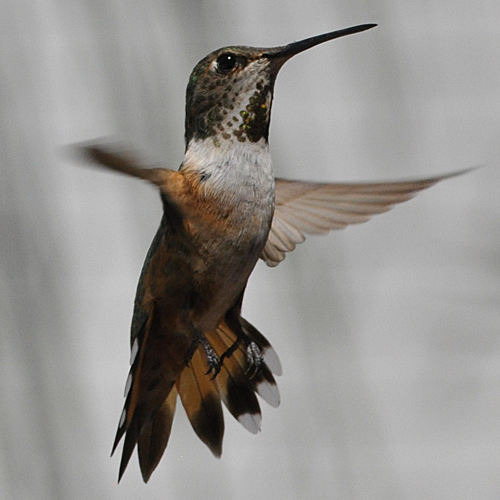 Rufous Hummingbird AHY female
