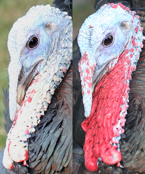 Wild Turkey color