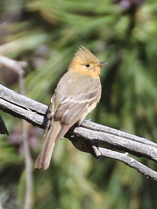 Tufted Flycatcher TUFL