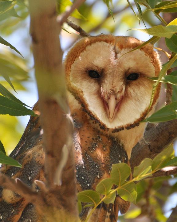 Barn Owl BARO juvenile