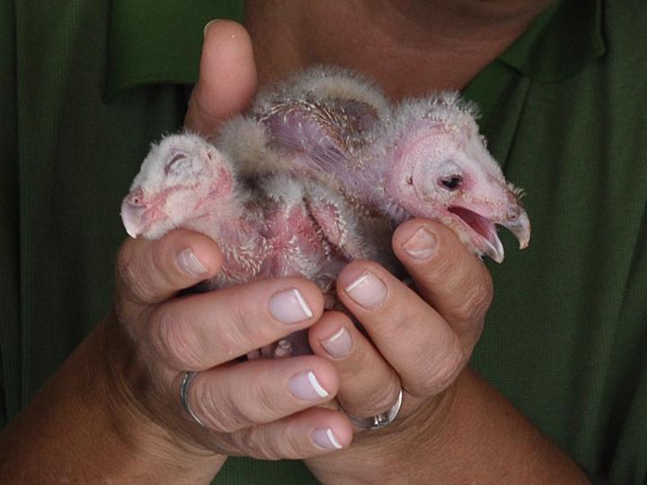 Barn Owl owlets