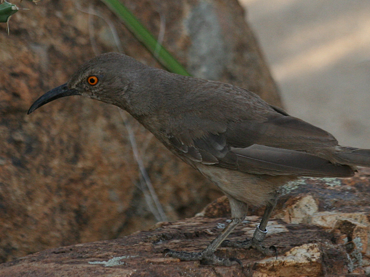 Curve-billed Thrasher banded