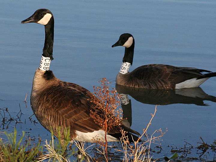 Canada Goose banded