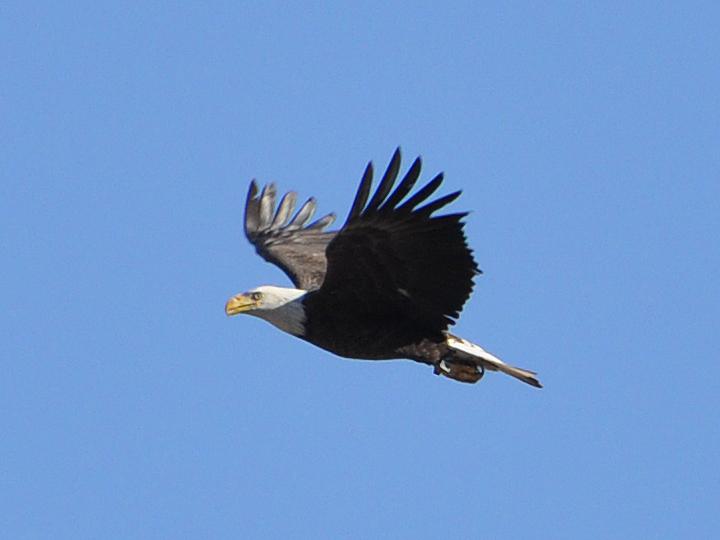 Bald Eagle banded