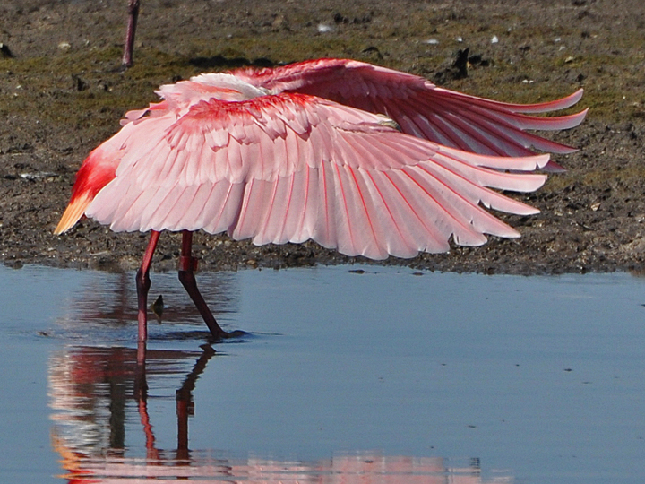 Roseate Spoonbill banded