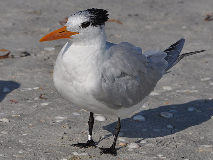 Royal Tern banded