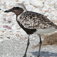 Back-bellied Plover BBPL