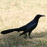 Great-tailed Grackle GTGR