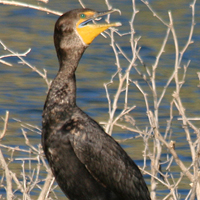 Double-crested Cormorant DCCO