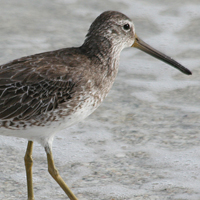 Short-billed Dowitcher SBDO
