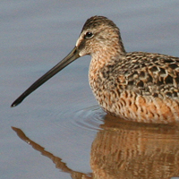 Long-billed Dowitcher LBDO