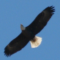 Bald Eagle BAEA