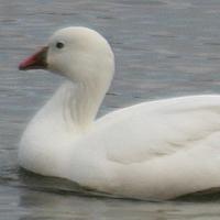 Ross's Goose ROGO