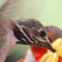 Calliope Hummingbird CAHU