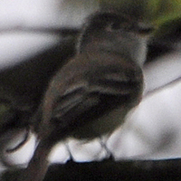 Least Flycatcher LEFL