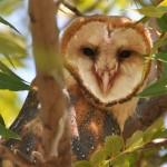 Barn Owl BANO