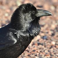 Common Raven CORA
