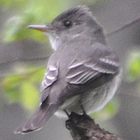 Eastern Wood-Pewee EAWP
