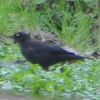 Rusty Blackbird RUBL