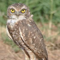 Burrowing Owl BUOW