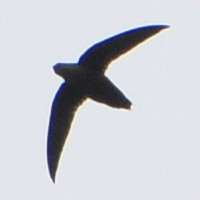 Chimney Swift CHSW
