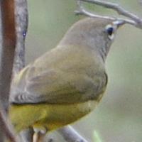 MacGillivary's Warbler MGWA