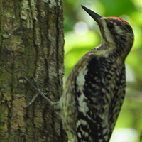 Yellow-bellied Sapsucker YBSA