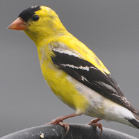 American Goldfinch AMGO